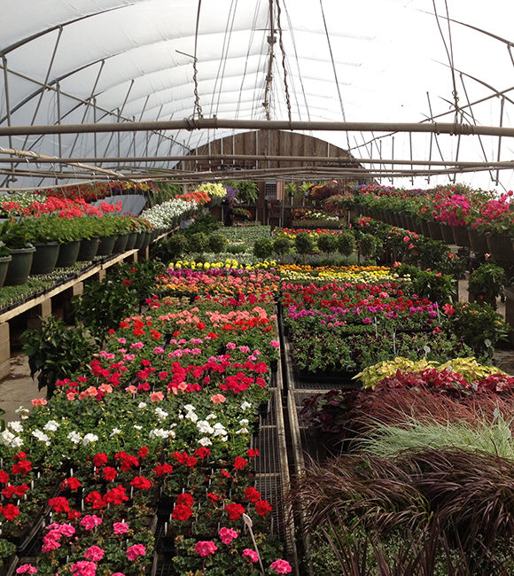 Huge Selection In Our Greenhouse 580x650 - Gertens Farm Market
